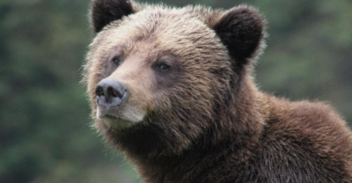 Symbolfoto: Grizzly